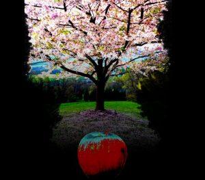 apple apple tree blossom